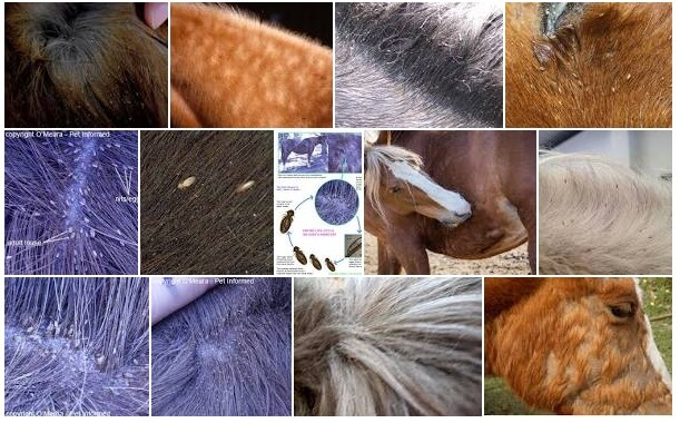 lice on horses