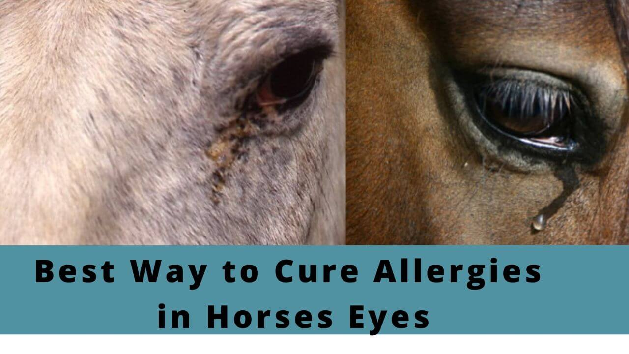 Best Way to Cure Allergies in Horses Eyes