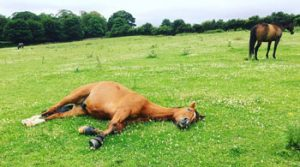 How Long Can a Horse Lay Down Before it Dies